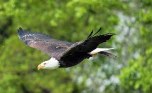 Einer der Publikumslieblinge, die hoch über der Sababurg ihre Flügel spannen, ist der Seeadler. Foto: Heiko Trachsel
