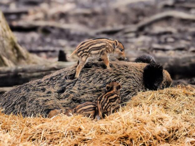 Wildschwein-Frischlinge und ihr Muttertier. Foto: David Selbert