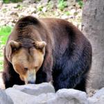 Braunbär im Wildpark Knüll. Foto: Gerald Schmidtkunz