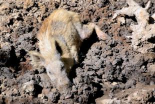 Ein Wildschwein suhlt sich im Wildpark Knüll. Foto: Gerald Schmidtkunz