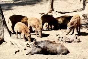 Wildschweinrotte im Wildpark Knüll. Foto: Gerald Schmidtkunz