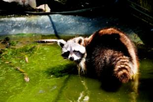An einem heißen Sommertag tummelt sich ein Waschbär, von Insekten umschwirrt, in einer erfrischenden Pfütze. Foto: Gerald Schmidtkunz