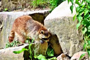 Die Neugier der Waschbären kennt keine Grenzen. Ihr Terrain im Wildpark Knüll erkunden die räuberischen Allesfresser jeden Tag aufs Neue. Foto. Gerald Schmidtkunz