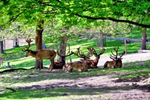 Eine Herde Hirsche versucht der Mittagshitze unter dem Schatten der Bäume zu entgehen. Foto: Gerald Schmidtkunz
