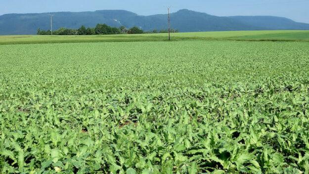 Es blüht noch nicht pink auf den Feldern um die drei Mohndörfer Germerode, Grandenborn und Wendershausen. Noch ist ein vollständiges Grün die vorherrschende Farbe. Foto: Marco Lenarduzzi