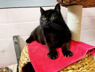 Rabenschwarz und doch eine reine Seele … Peggy ist eine liebe Schmusekatze, die ein neues Zuhause mit Freigang sucht. Foto: nh