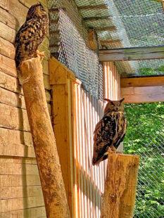 Eine der weltweit nahezu 200 Eulenarten ist im Wildpark Knüll zuhause: Der Uhu. Foto: Schmidtkunz