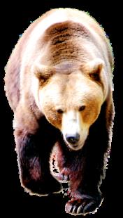 Kraftvoll schreitet der Bär auf seiner Runde durch sein Gehege im Wildpark Knüll aus. Foto: Gerald Schmidtkunz