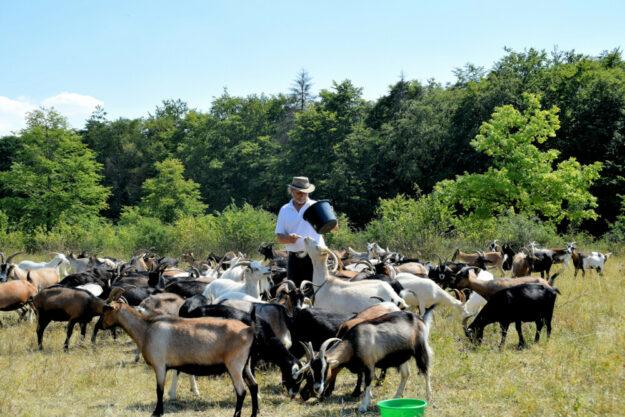 Ziegen am Grünen Band im Geo-Naturpark Frau-Holle-Land. Foto: Susanne Pfingst