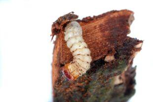 Diese harmlos aussehende Maden ist für nahezu drei Viertel aller Baumschäden verantwortlich. Der Schädling stammt vom Borkenkäfer. Foto: David Hablützel   Pixabay