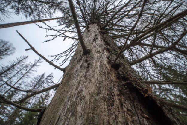 Die Zahl der von Insekten kaputt gefressenen Bäume steigt rasant an. Foto: Marek Matecki | Pixabay