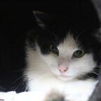 Hauskater Summy möchte alsbald vom Tierheim in ein neues, ruhiges Zuhause umziehen. Foto: nh